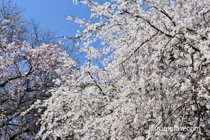 うきは市 「身延桜」枝垂れ桜 見頃