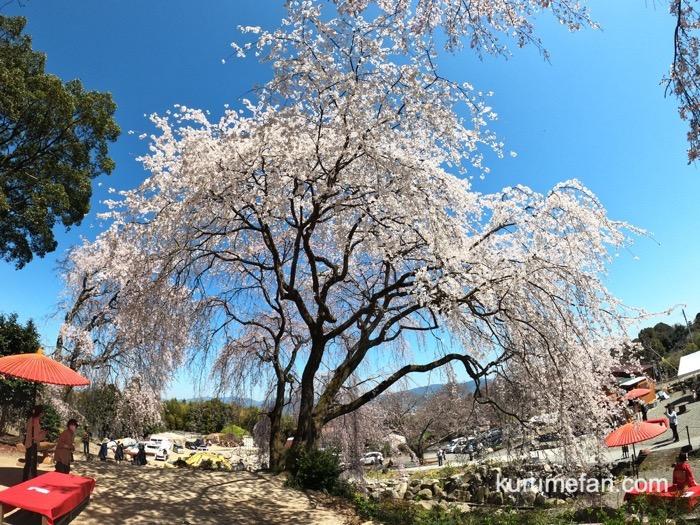 うきは市 「身延桜」枝垂れ桜 見る人を包み込むように咲くシダレザクラ