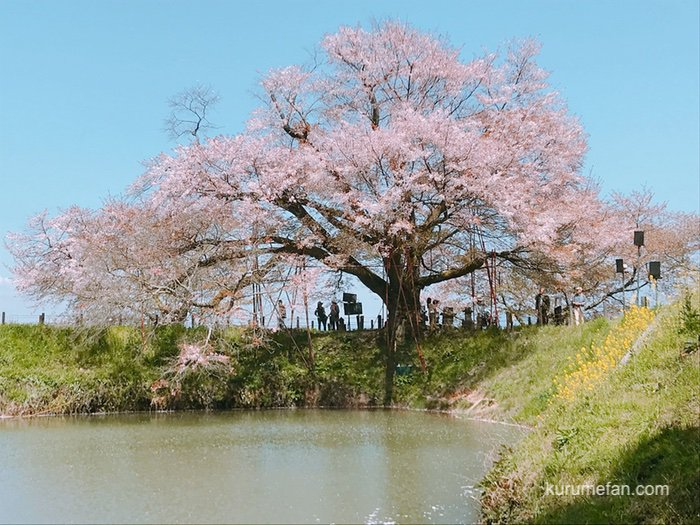 KBC STORY 未来に残したい ふるさとの風景 久留米市「浅井の一本桜」