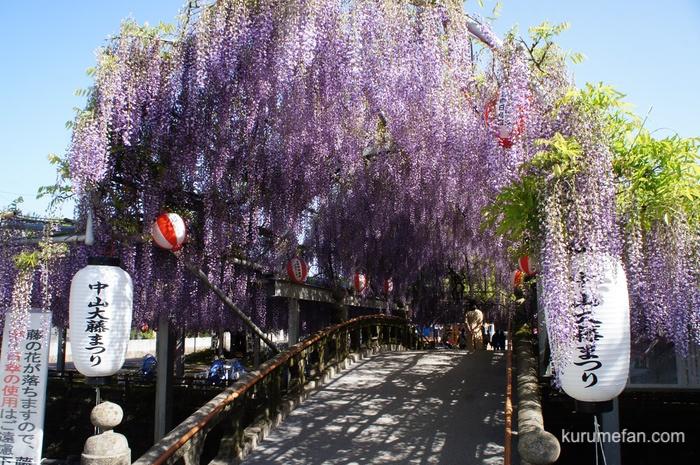 柳川市 中山大藤 人出が増え、花を刈り取りに 新型コロナ感染拡大防止