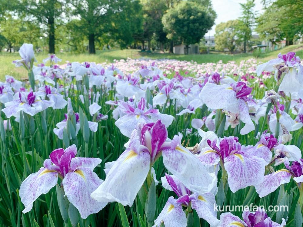 久留米市 大隈公園 白色のハナショウブ