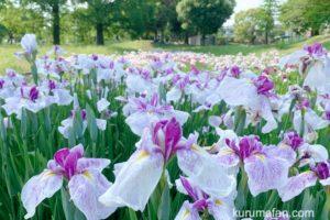 久留米市 大隈公園のハナショウブが見頃 約4,000株の花
