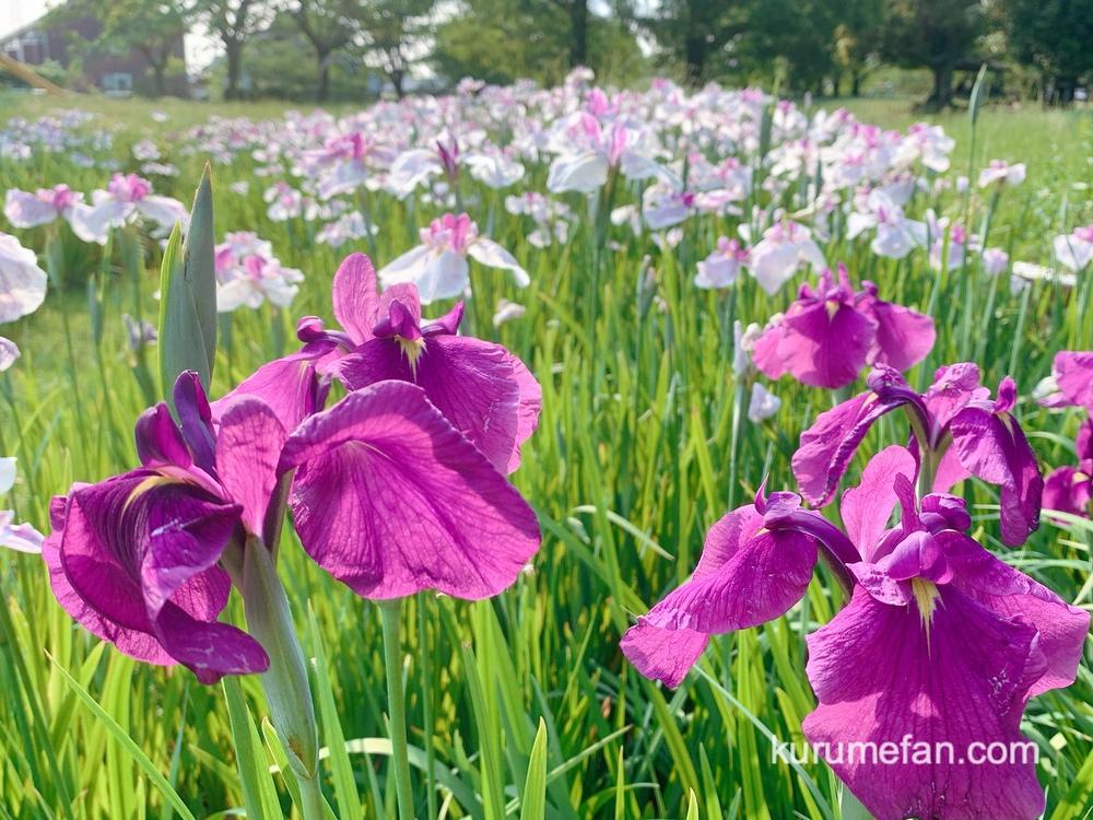 久留米市 大隈公園 紫色のハナショウブ