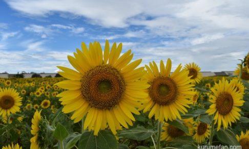 夏の柳川ひまわり園 新型コロナウイルス感染拡大防止により2020年は中止に