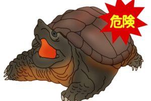 柳川市でカミツキガメ(特定外来生物)全長約50cm 1匹が捕獲される