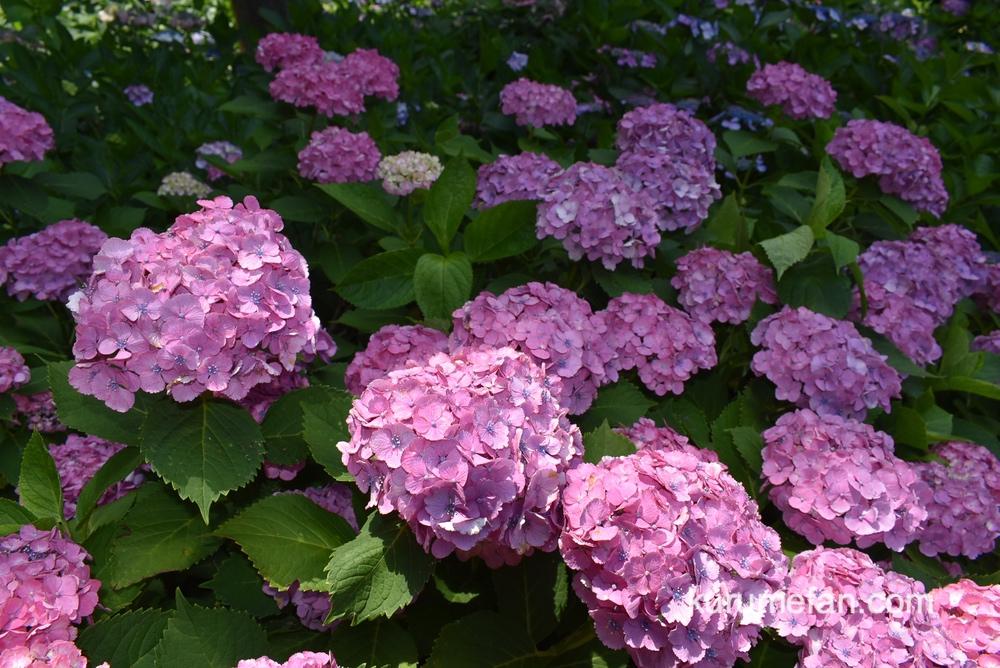 久留米市 千光寺 あじさい園 約7,000株の色鮮やかな紫陽花