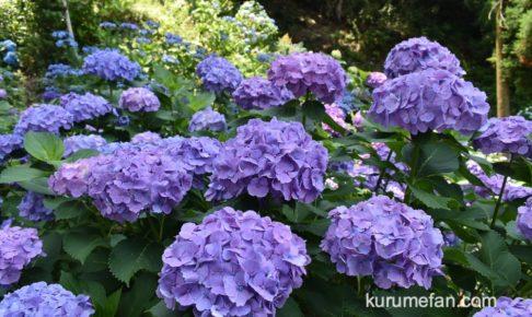 久留米 千光寺(あじさい寺)の紫陽花を見てきた 約7,000株の花