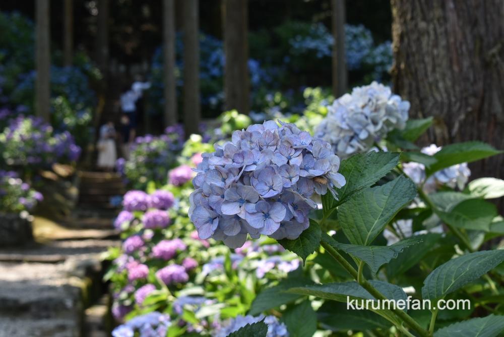 久留米市 千光寺 高低差があり森に囲まれた中に、あじさいがたくさん咲いている