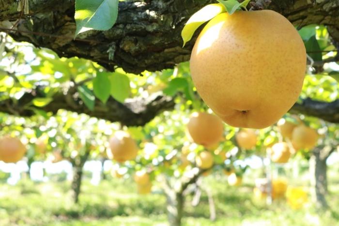 中村果樹園フルトリエの観光梨狩り シャインマスカットも【久留米市】