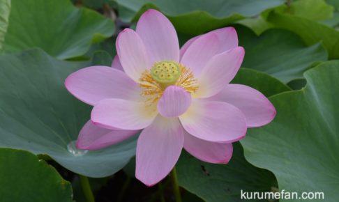 みやき町 千栗土居公園の蓮の花をみてきた!二千年蓮と舞妃蓮がキレイ