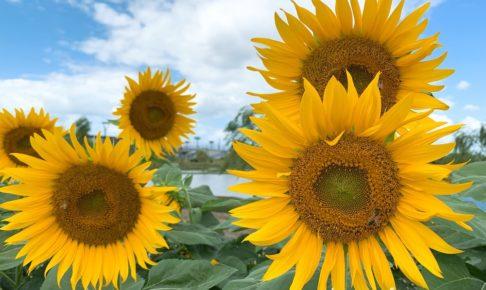 筑後広域公園に咲く秋のひまわり フラワーゾーンに咲く綺麗な花々【筑後市】