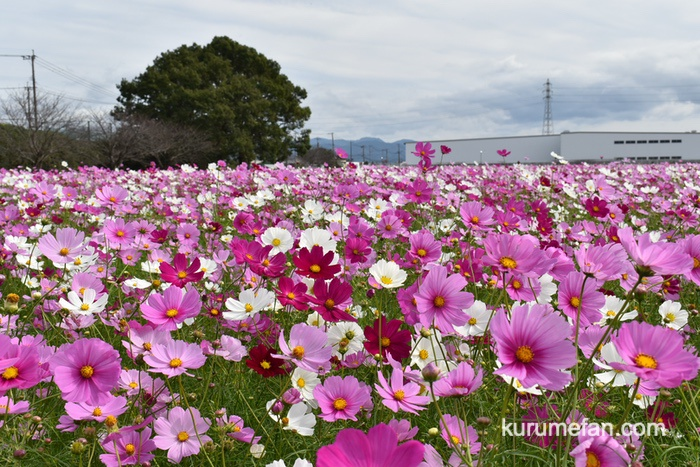 昨年(2019年)キリンビール福岡工場 コスモスフェスタへ訪れた様子