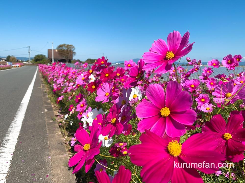 コスモス街道は、未来にのこしたい日本の花風景「池坊花逍遥100選」に認定