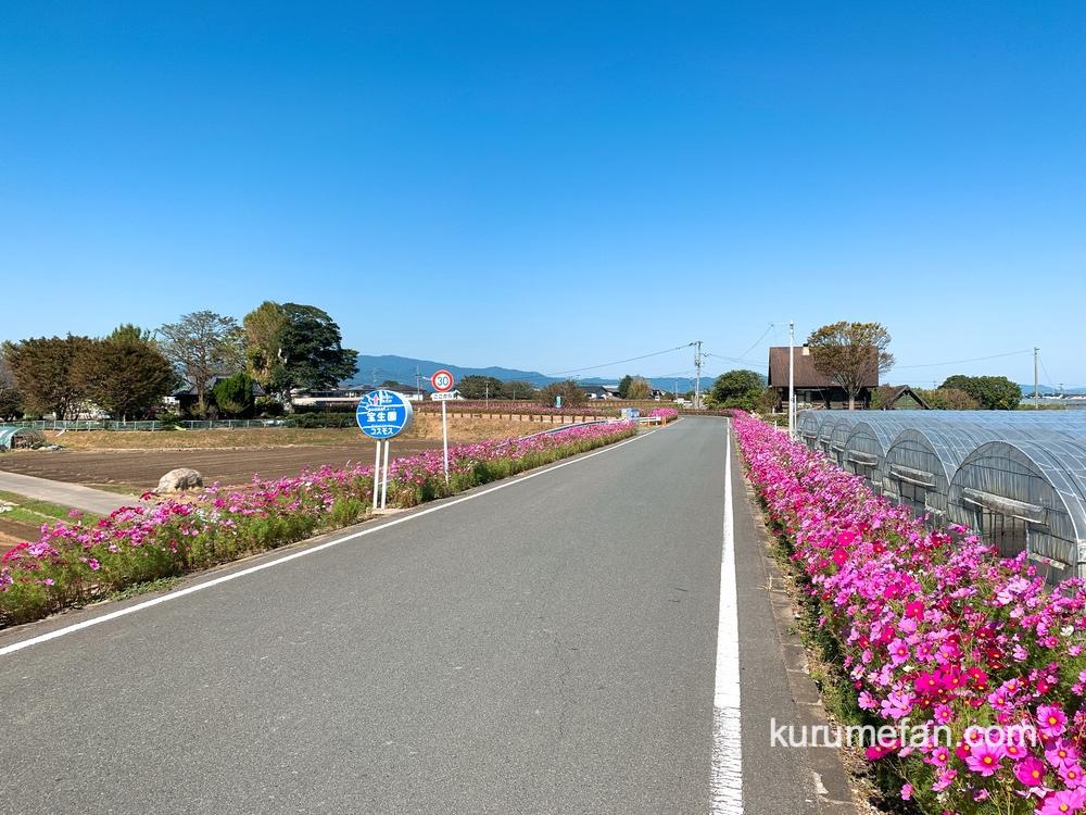久留米市北野町 コスモス街道 3.5㎞に渡り、コスモスが咲き誇る