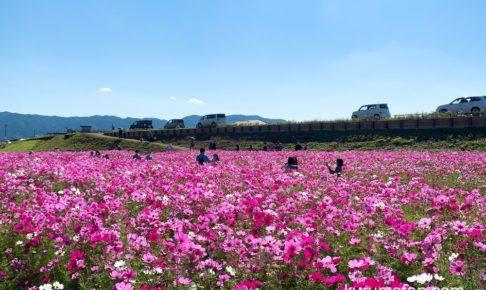 久留米市北野町 コスモス街道のコスモスが満開!色とりどりの花が一面に咲き誇る