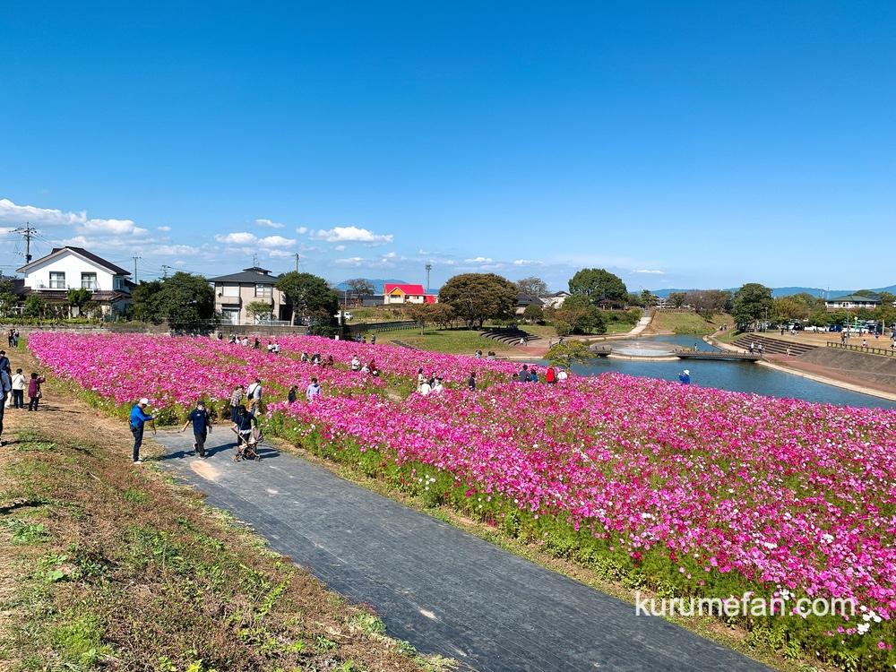 久留米市北野町 コスモスパーク北野の直ぐ側にコスモス畑が満開