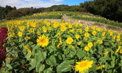 山田ひまわり園 2020年11月1日から開園 秋のひまわり畑【みやき町】