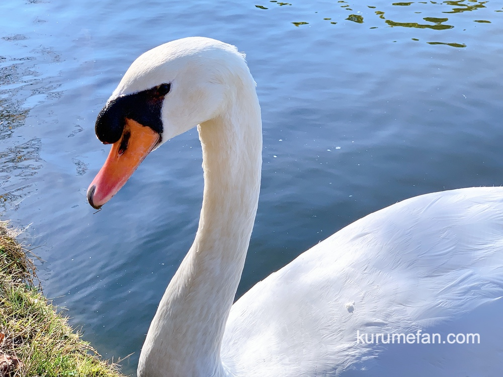 石橋文化センターの池にいる白鳥(コブハクチョウ)久留米市