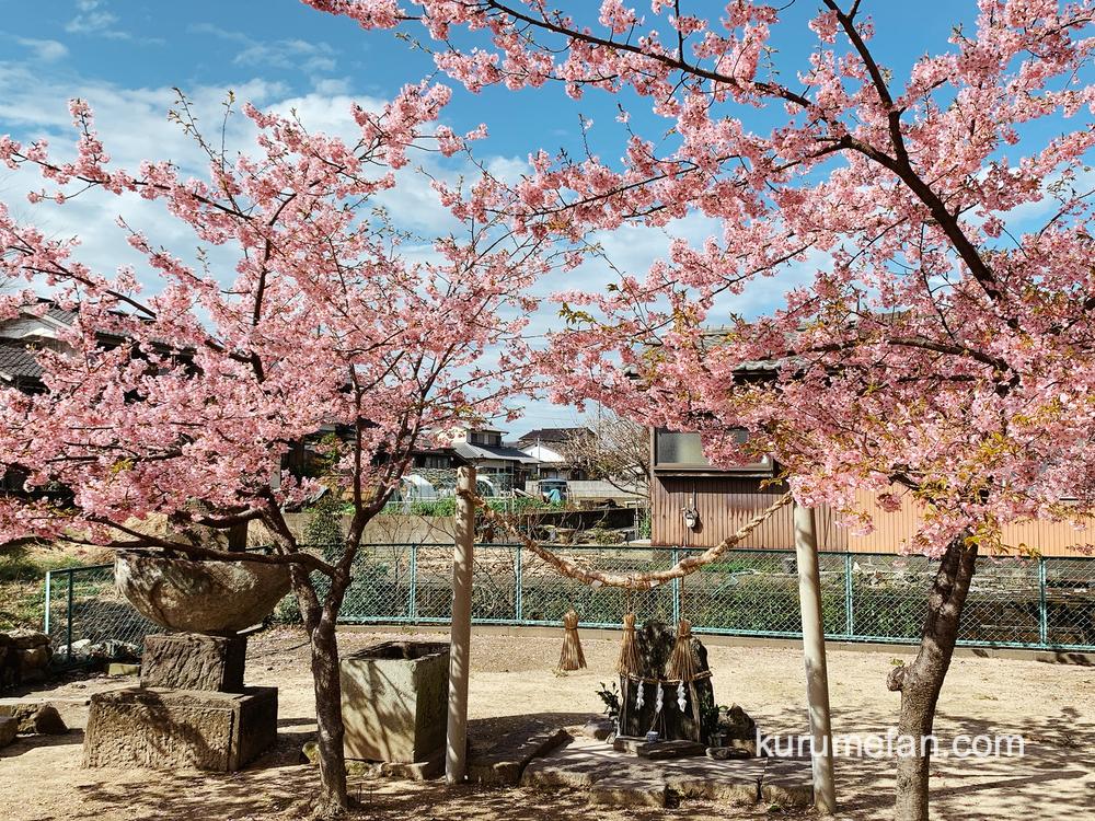 久留米市宮ノ陣町 八丁島天満宮の境内に咲く数本の河津桜(カワヅザクラ)