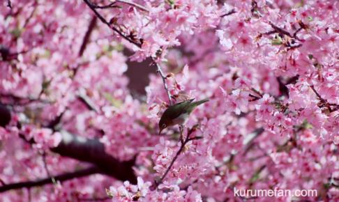 久留米市宮ノ陣町 八丁島天満宮の河津桜が満開!優雅に咲く数本の桜