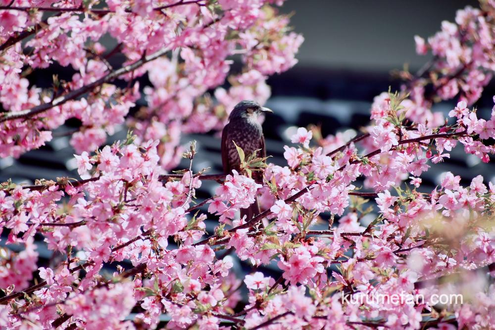 久留米市宮ノ陣町 八丁島天満宮の河津桜と野鳥
