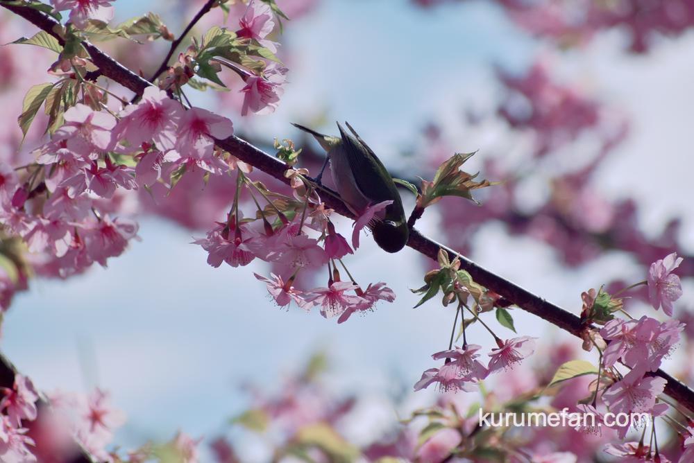 久留米市宮ノ陣町 八丁島天満宮の河津桜とメジロ