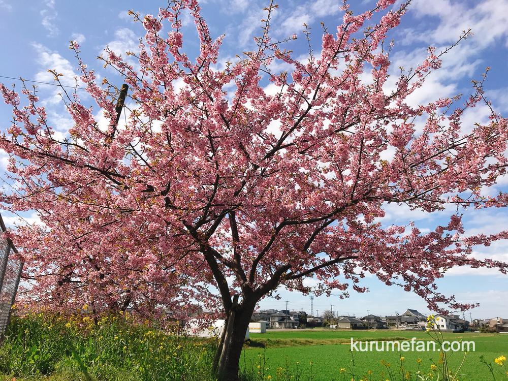 久留米市宮ノ陣町八丁島 桜並木にある河津桜