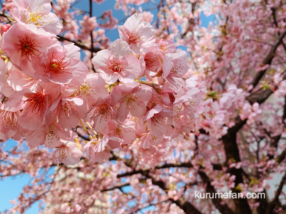 久留米市 西鉄花畑駅側にある3本の河津桜(カワヅザクラ)