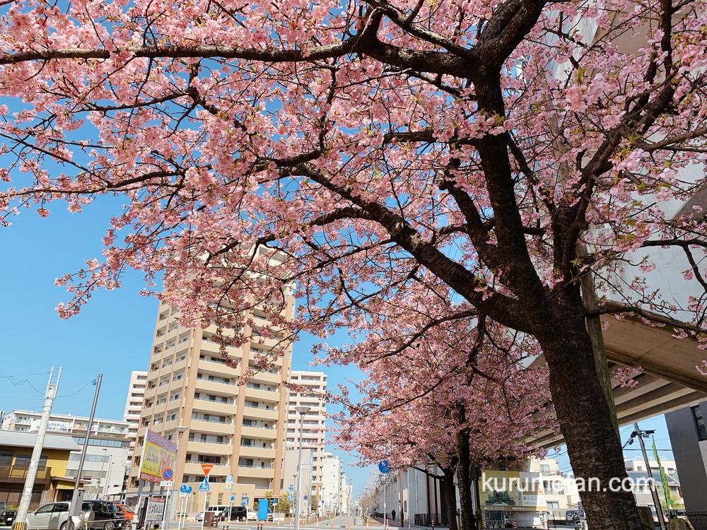 久留米市花畑駅側にある河津桜がキレイ!早咲き桜が見頃【2021年】