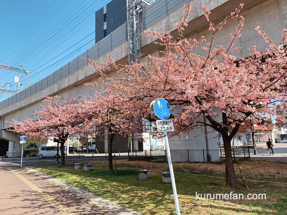 久留米市 西鉄花畑駅側にある河津桜(カワヅザクラ)早咲きの桜