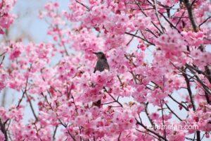 陽光桜が見頃!久留米市荒木町の鷲塚公園 鮮やかなピンク色の桜