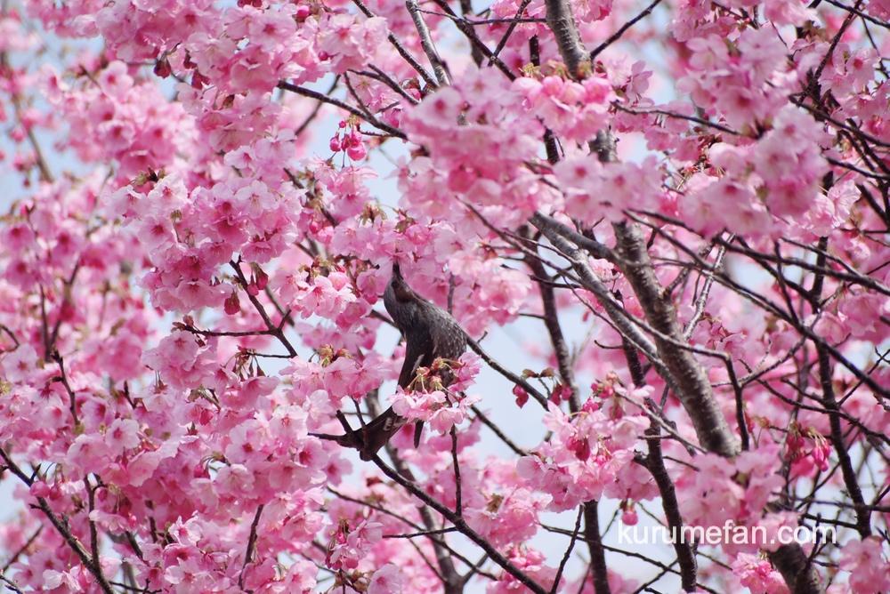 久留米市荒木町 鷲塚公園の陽光桜(ヨウコウザクラ)と野鳥