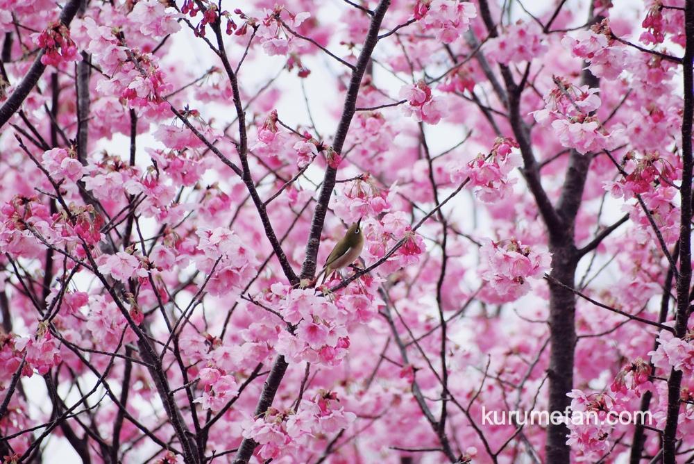 久留米市荒木町 鷲塚公園の陽光桜(ヨウコウザクラ)蜜を求めるメジロや野鳥