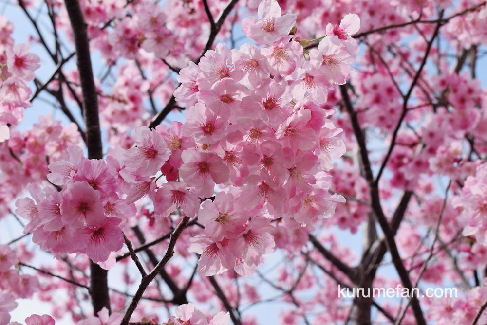 久留米市荒木町 鷲塚公園の陽光桜(ヨウコウザクラ)鮮やかなピンク色