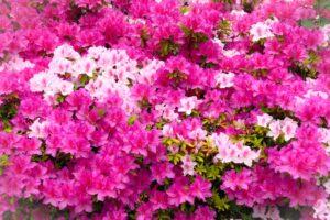 第64回 久留米つつじまつり 今年はくるめ緑花センター特設会場で開催