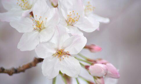 2021年 福岡のさくらの開花宣言 観測史上最も早い開花に【3月12日】