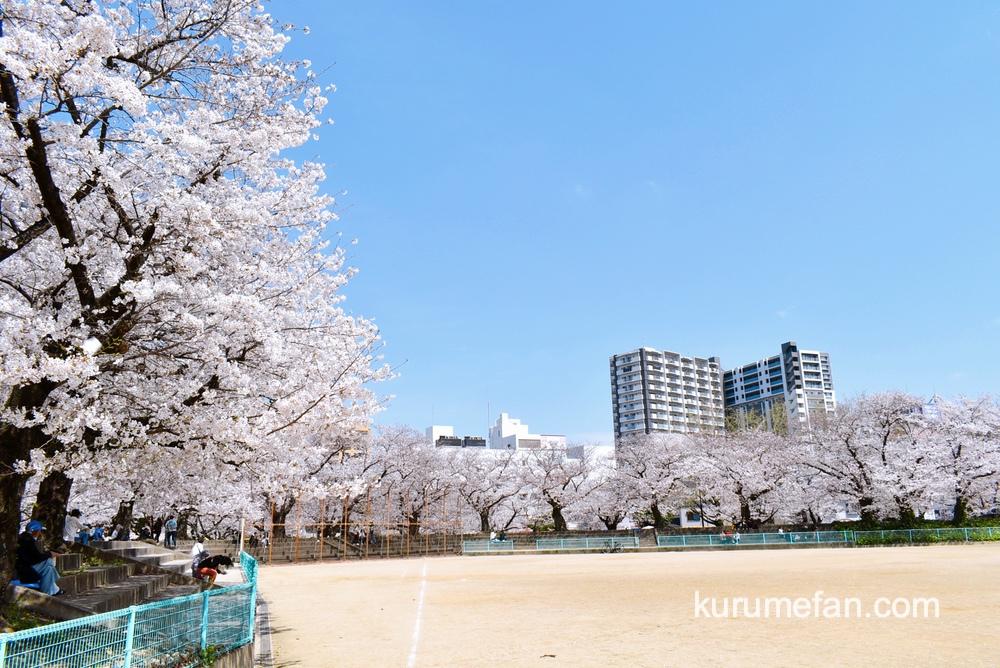 久留米市 小頭町公園に咲く100本の桜