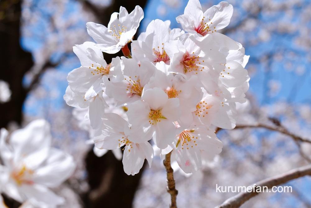 久留米市 小頭町公園に咲く桜