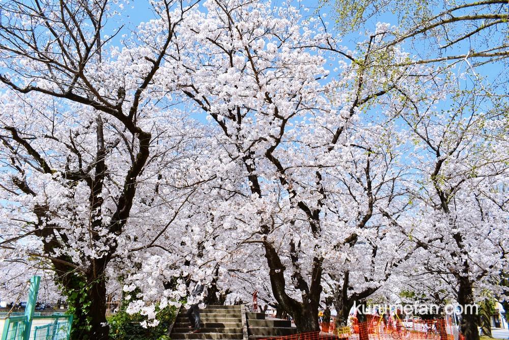 久留米市 小頭町公園に咲く100本の桜が満開