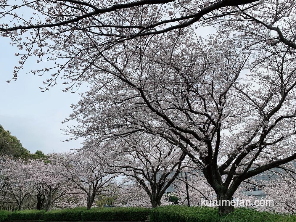 久留米百年公園の桜(ソメイヨシノ) 0011
