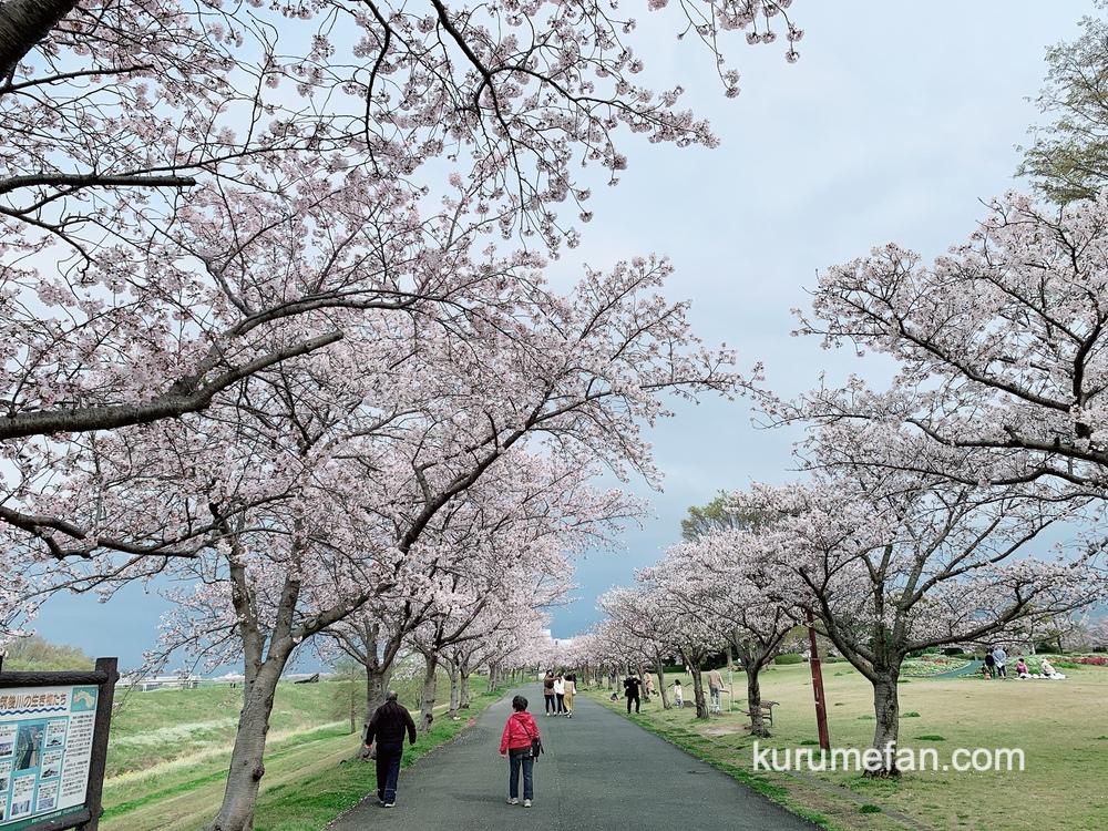 久留米百年公園の桜並木