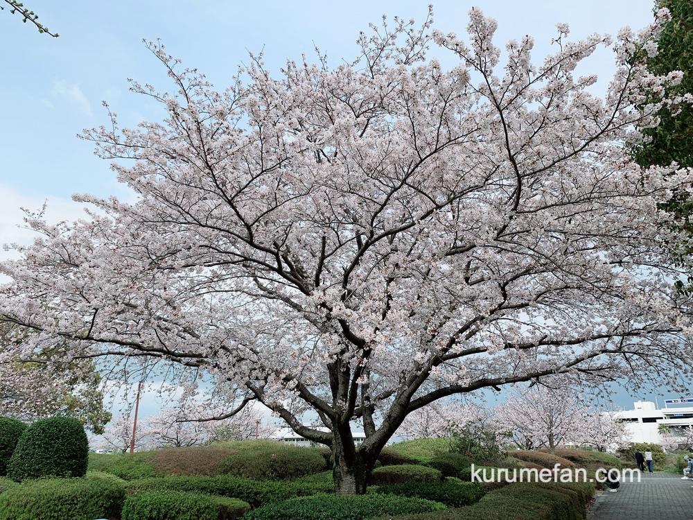 久留米百年公園の桜(ソメイヨシノ)