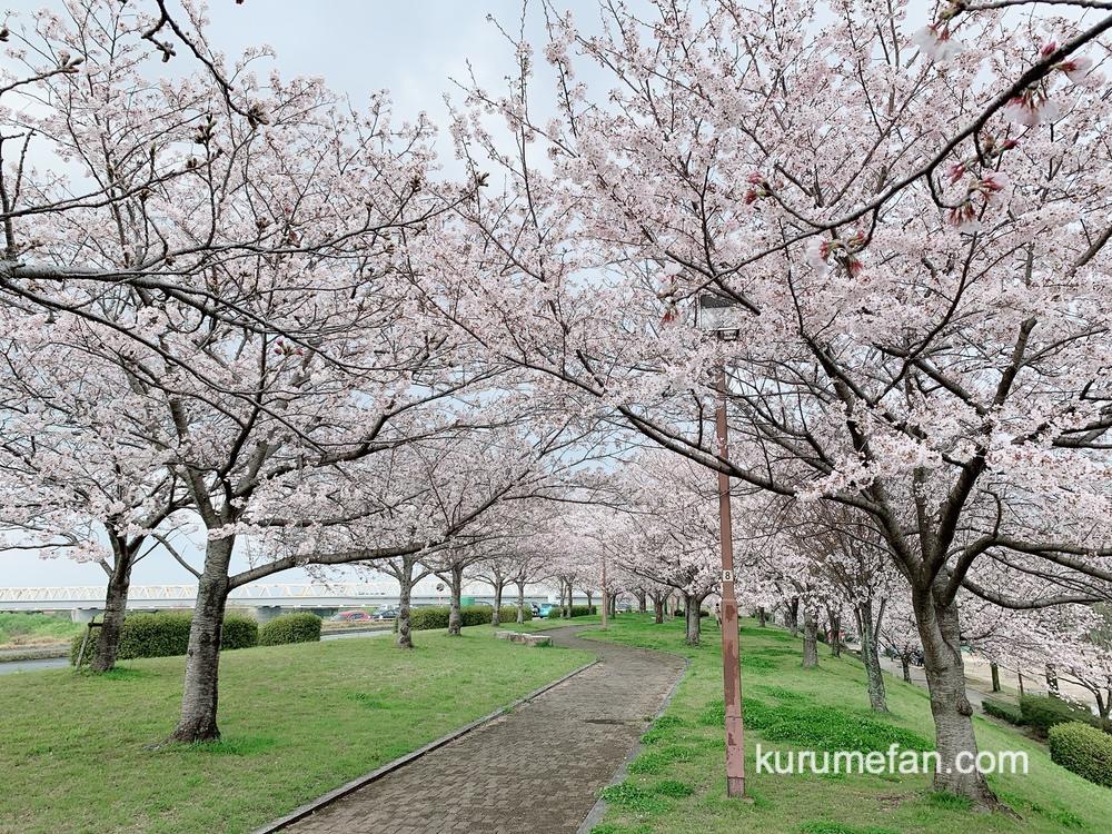 久留米市東合川干出町にある中千出公園の桜