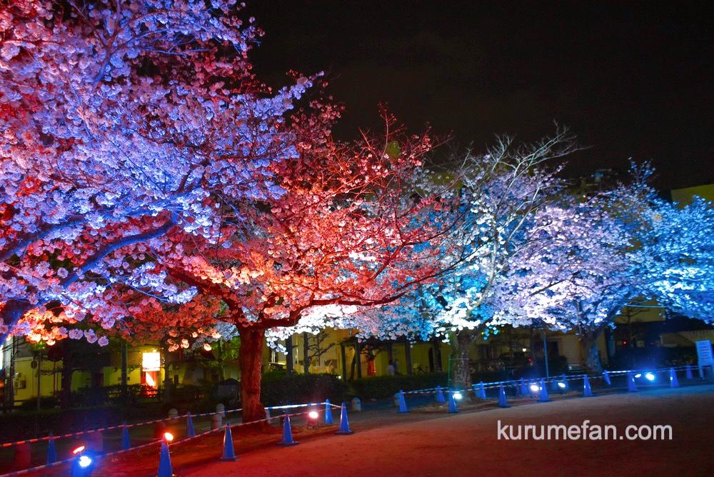 久留米市 ライトアップされた三本松公園の桜が幻想的
