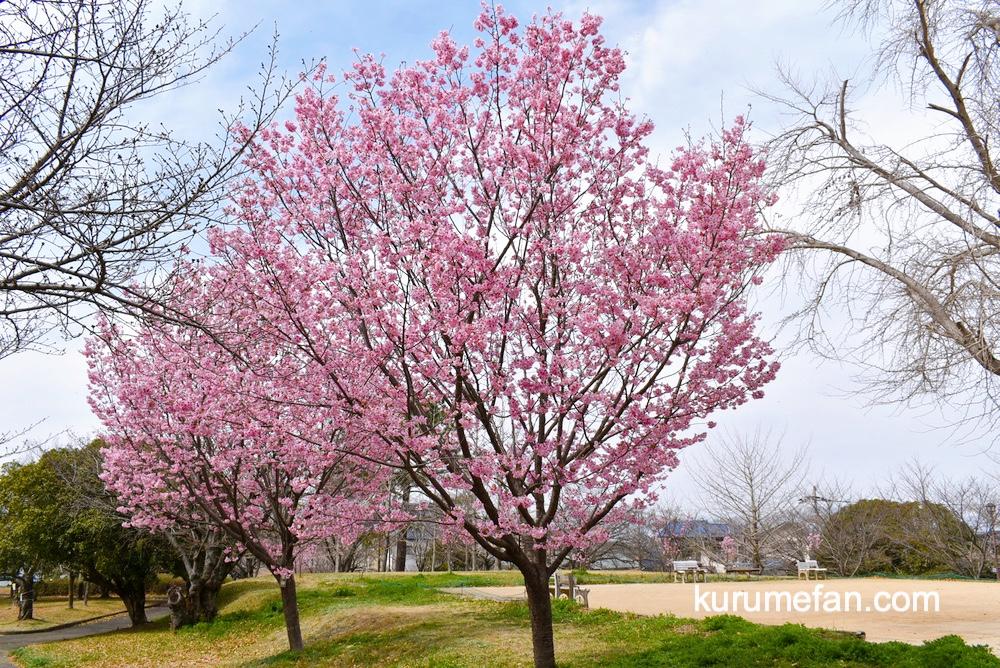 久留米市荒木町 鷲塚公園の陽光桜(ヨウコウザクラ)