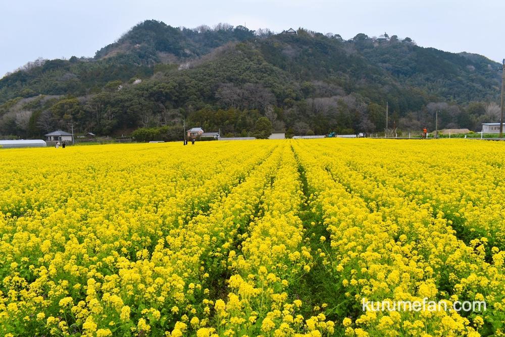 道の駅 原鶴 約80万本の菜の花!黄色い絨毯のような絶景【朝倉市】