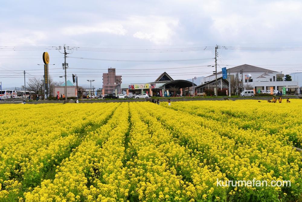 道の駅「原鶴」ファームステーションバサロ 菜の花の場所