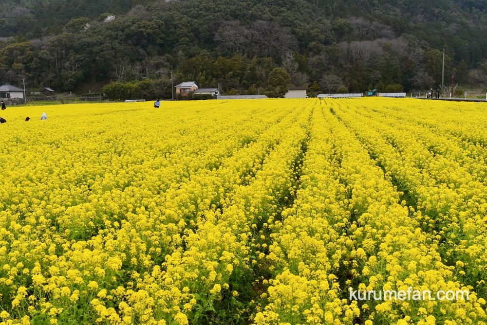 道の駅原鶴 約80万本の菜の花!黄色い絨毯のような絶景【朝倉市】