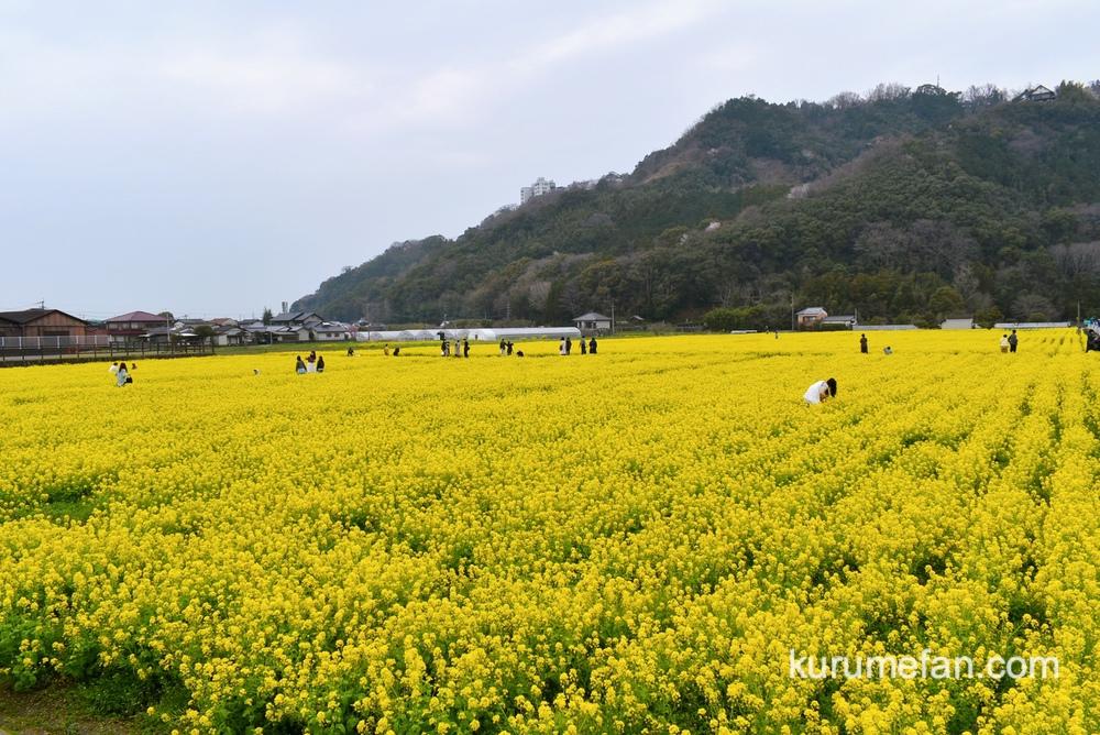 道の駅 原鶴 約60万本の菜の花!黄色い絨毯のような絶景【朝倉市】