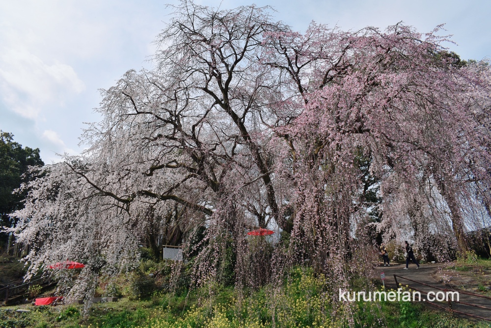 うきは市 法華原の大しだれ桜「身延桜(みのぶざくら)」が見頃